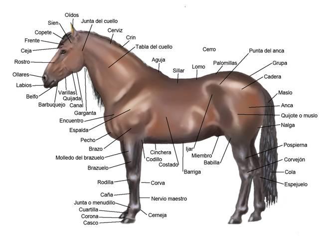 Léxico de la anatomía del caballo.